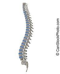 3d rendered anatomy illustration of human spine