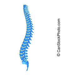 3d rendered illustration of a healthy human spine
