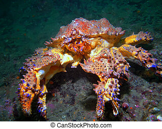A Puget Sound King Crab also known as a Box Crab photographed while scuba diving in Southern British Columbia.