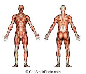 A 3d rendered illustration of the front and back of a male showing muscules.