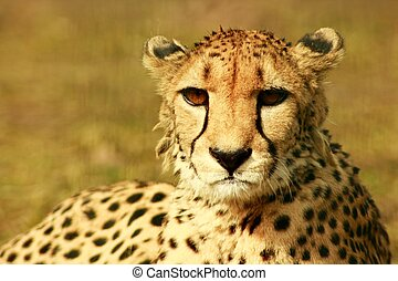 a cheetah at resting time in the sun of afrika