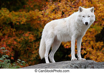 This is an Arctic Wolf standing and looking at the camera on a fall day.