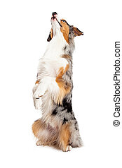 Australian Shepherd dog begging and looking up while positioned at an angle that shows the front of the dog.