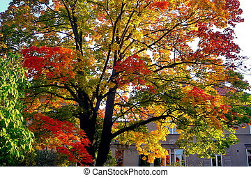 autumn maple trees in fall city park