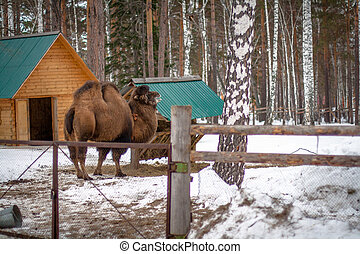 Bactrian camel in the winter