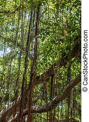 Banyan Tree Closeup 2