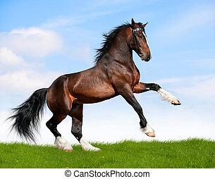 Bay draft horse stallion runs gallop in field at summer.