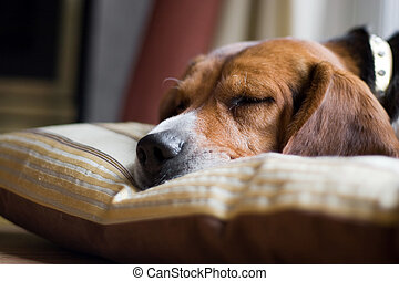 A young beagle pup sleeping on his pillow. Shallow depth of field.