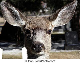 Curious female doe wandering through a cemetery