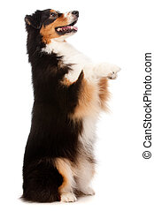 An adorable black and brown australian shepard standing on his hind legs against white background