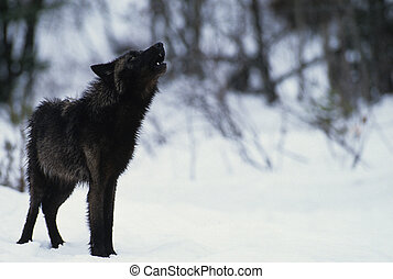 Black Wolf howling