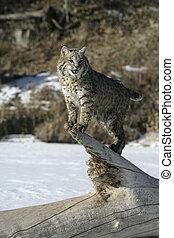 Bobcat (blue)