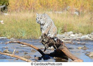 bobcat over water