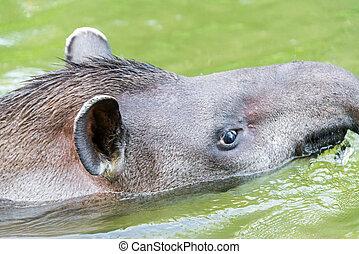 Brazilian Tapir Closeup