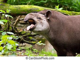 Brazilian tapir yawning