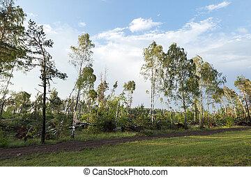 broken birch tree after a storm