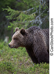 Brown bear in Tiaga forest
