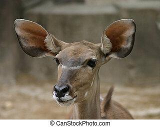 Brown Deer With Big Ears