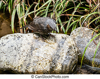 Brown-eared bulbul on a rock in a stream 2