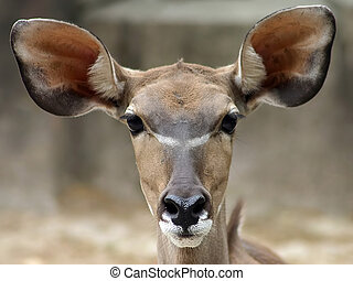 Big Brown Deer