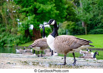 Canada Geese at Pondside
