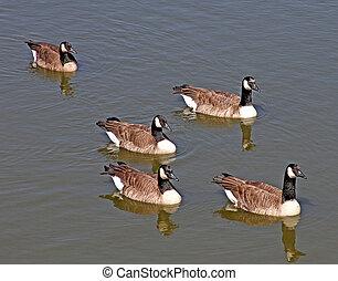 Canada Geese at Santa Barbara, CA 2