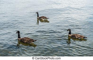 Canada Geese At Seward Park 4