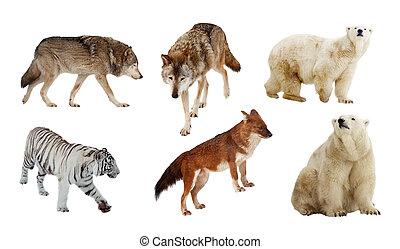 Carnivora mammals. Isolated over white