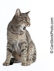 cat hisses