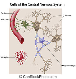 Neurons and glial cells of the CNS, eps8