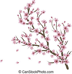 Soft pink cherry blossom flowers on branch over white background.