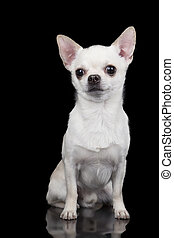 Chihuahua isolated on black background.