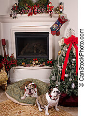 Two friendly bulldogs near the fireplace and the Christmas tree