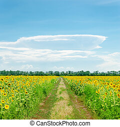 clouds on blue sky over road in sunflowers field
