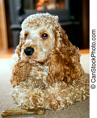 Cocker spaniel with big ears is lying and watching