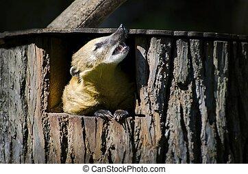 Cute Coati (Nasua)