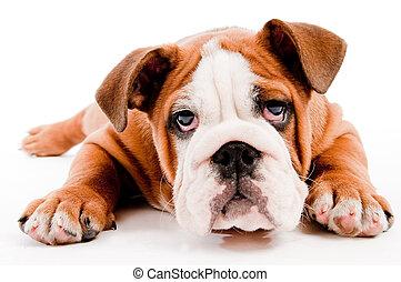 english Bulldog puppy on isolated background
