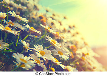 Daisy flowers. Beautiful nature scene with blooming chamomiles