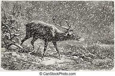 Deer under the snow old illustration. Created by Bodmer, published on L'Illustration, Journal Universel, Paris, 1863