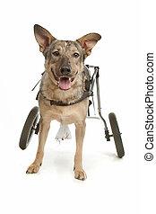 dog in a wheelchair