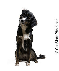 Black dog listening and trying to understand a command