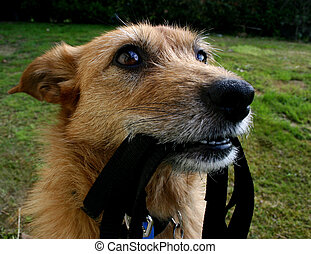 Cute scruffy terrier dog waiting with her lead in her mouth