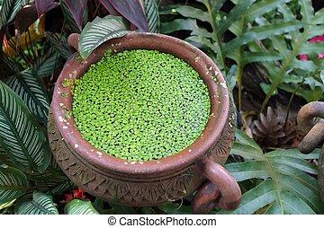 duckweed in pot