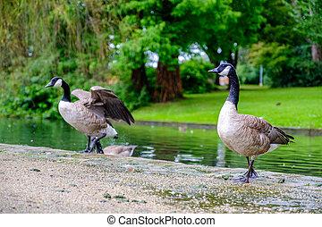 Elegant Canada Geese