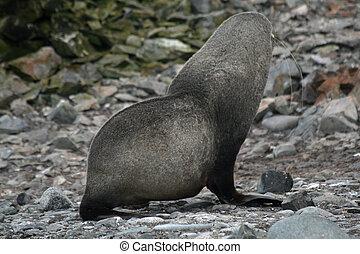 Elephant seal 3