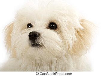 face of an adorable bichon maltese over white