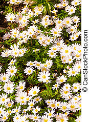 Field chamomiles flowers . Beautiful nature scene
