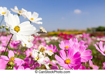 White and pink cosmos flowers