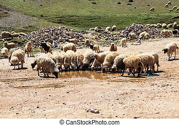 Flock of mountain goats