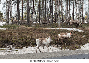 flock of reindeer